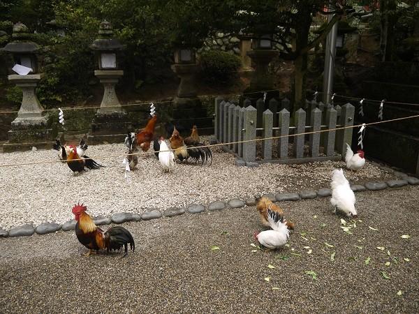 石上神宮 約30羽のニワトリが境内に放し飼い!!