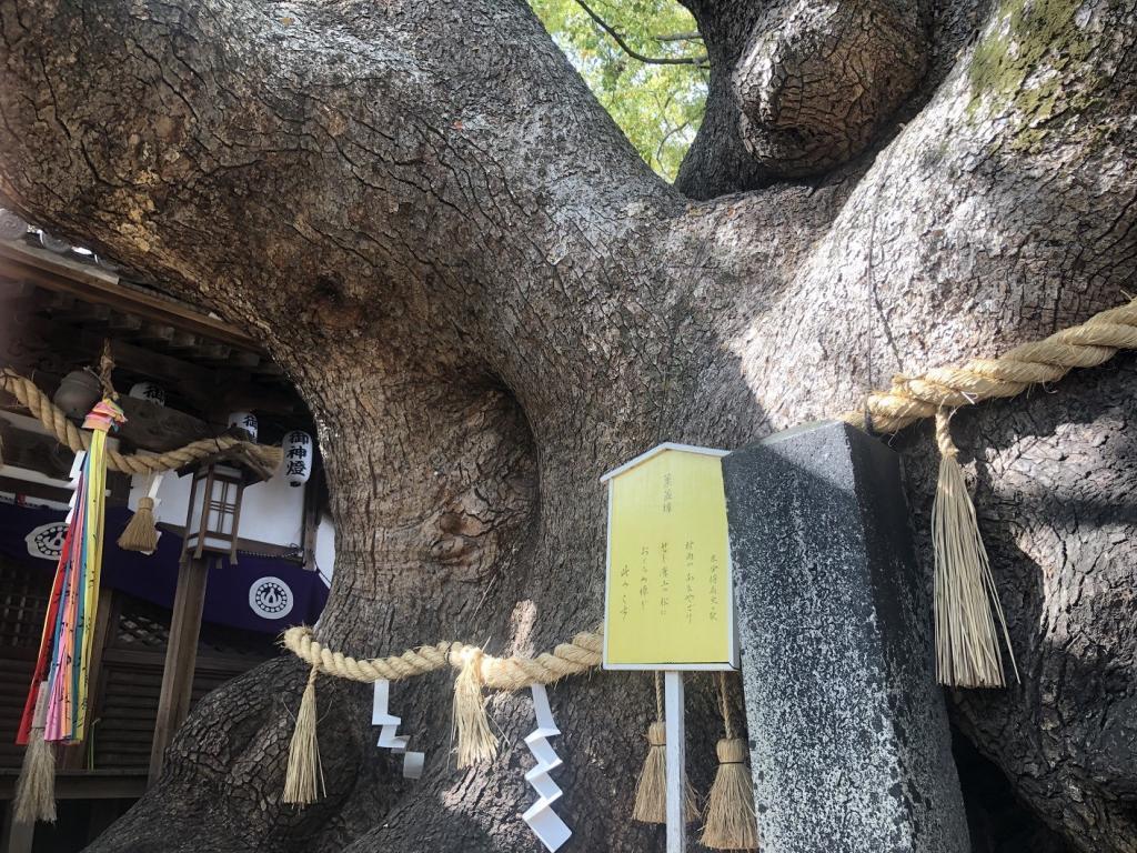 三島神社薫蓋樟