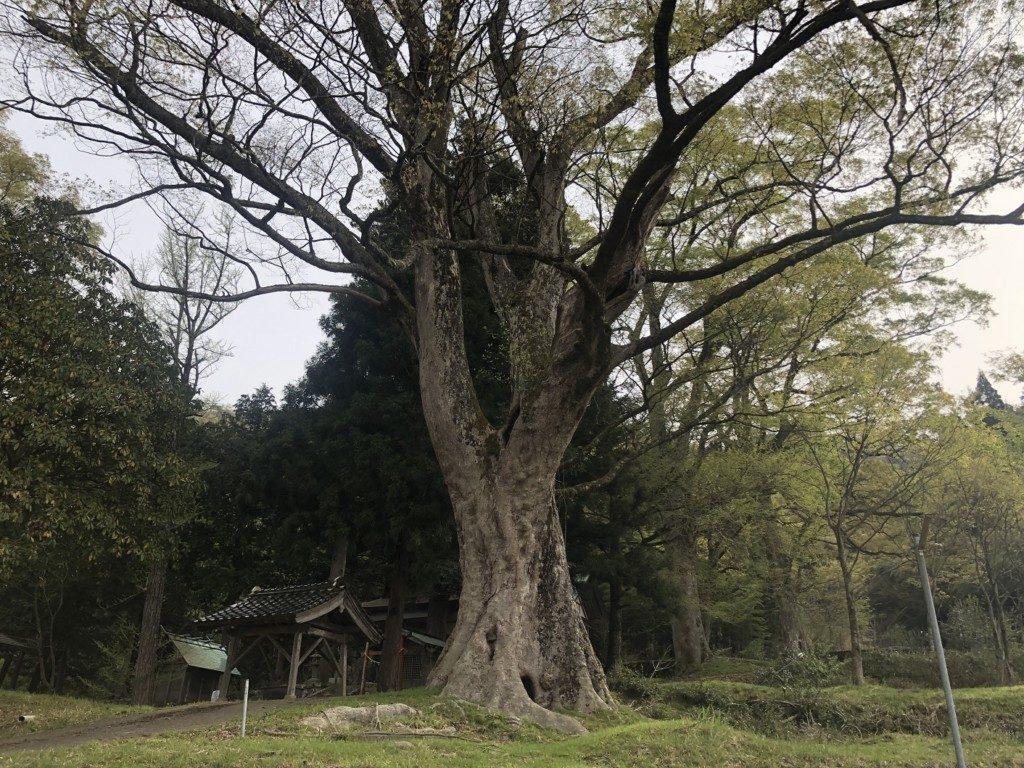 久畑一宮神社のケヤキの森