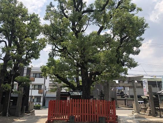 インパクト大!境内のド真ん中にそびえ立つご神木「夫婦楠」 鶴見神社