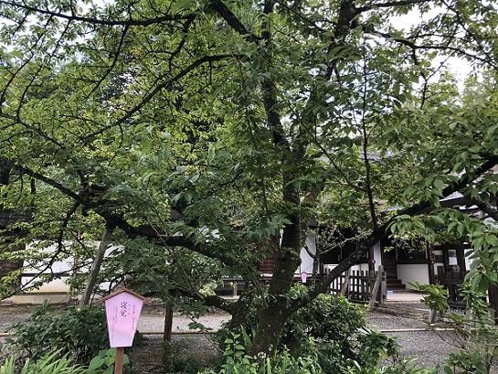 平野神社 桜の木①