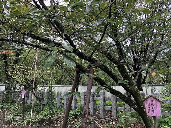 平野神社 桜の木②