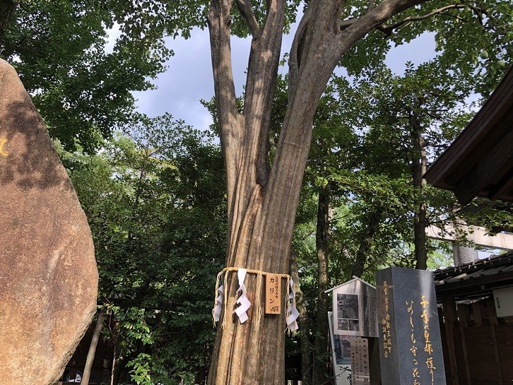 護王神社 カリンの木