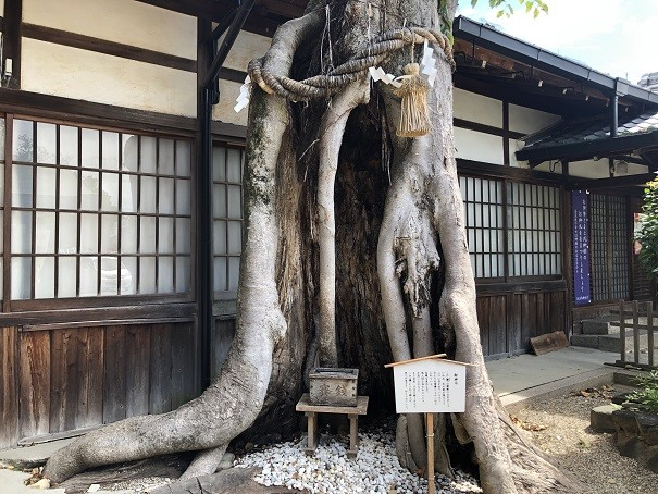三輪恵比須神社 御神木ケヤキ
