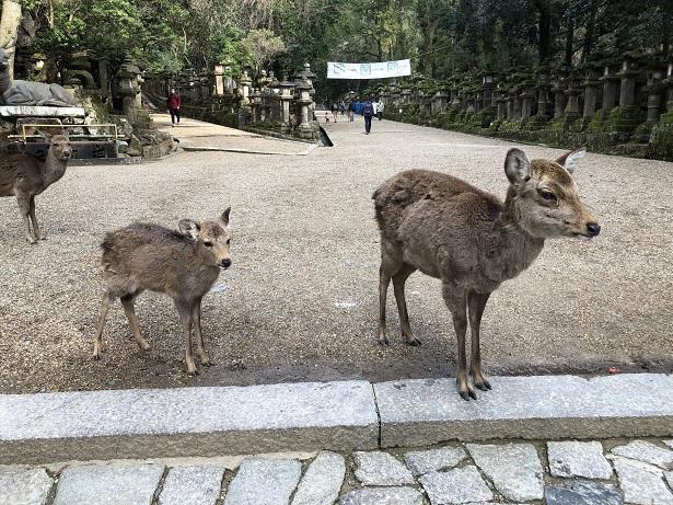 春日大社の可愛い鹿