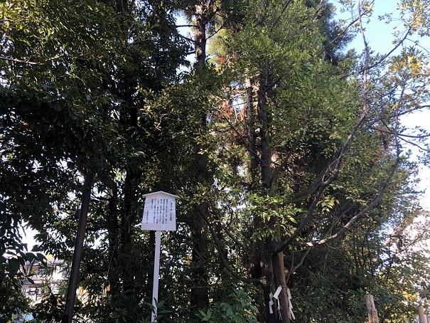 新熊野神社 梛の木