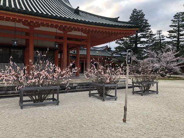 桜みくじで「結び木」に満開の桜を咲かす!