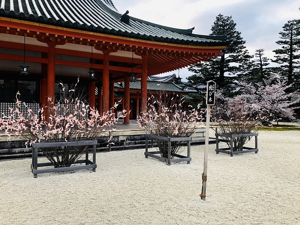桜みくじで「結び木」に満開の桜を咲かす!平安神宮