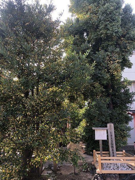西院春日神社梛の木