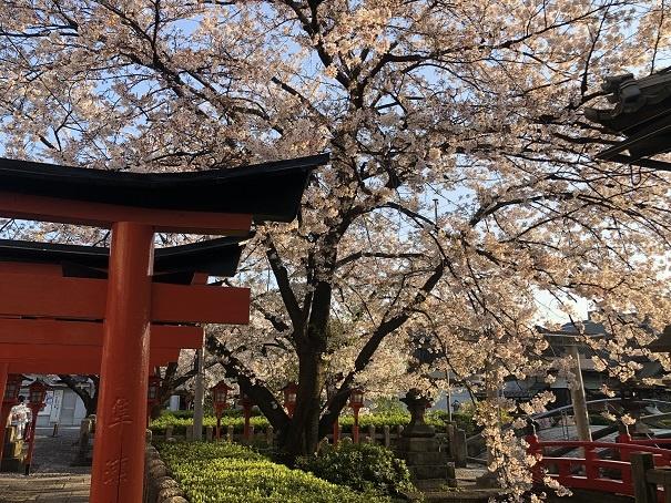 4月に満開を迎える桜の名所 六孫王神社