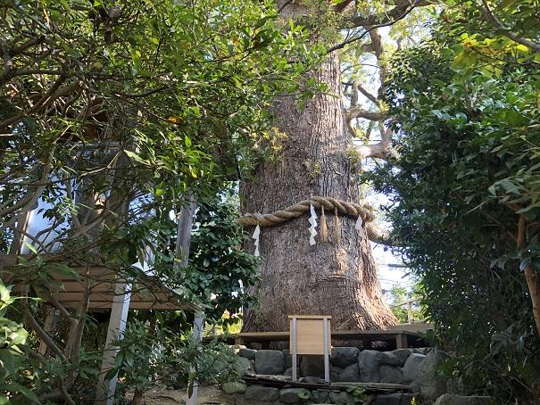 新熊野神社 ご神木