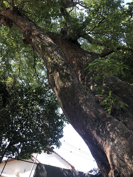 神戸市指定の天然記念物「ご神木」
