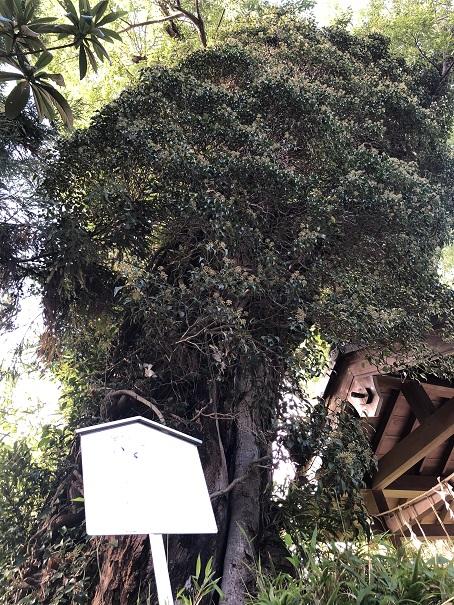 宇治市名木百選の指定されている樹齢500年のご神木「むくのき」