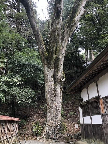 願いが叶う⁉樹齢500年の御神木欅(けやき)