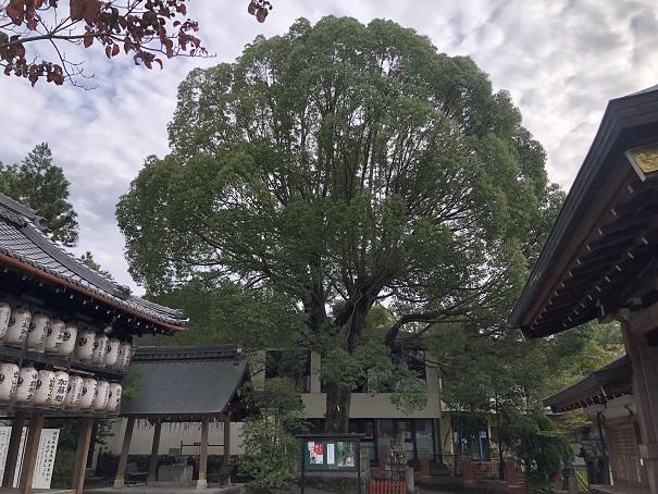 岩屋神社ご神木