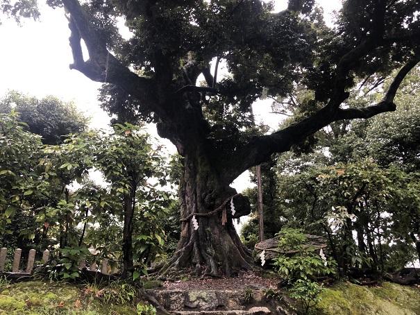 境内裏の巨木ご神木「スダジィ」新日吉神宮